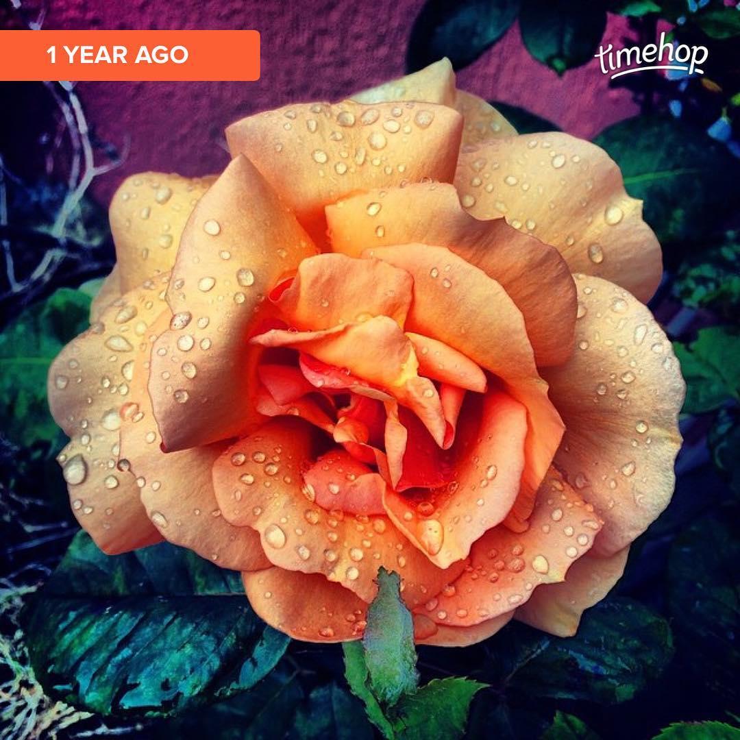 Une rose de mon petit jardin  🌳🌞 ️