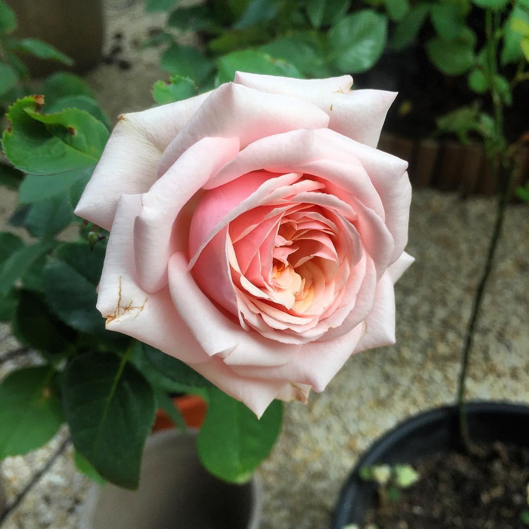 Les roses du jardin 🌳🌞 ️
