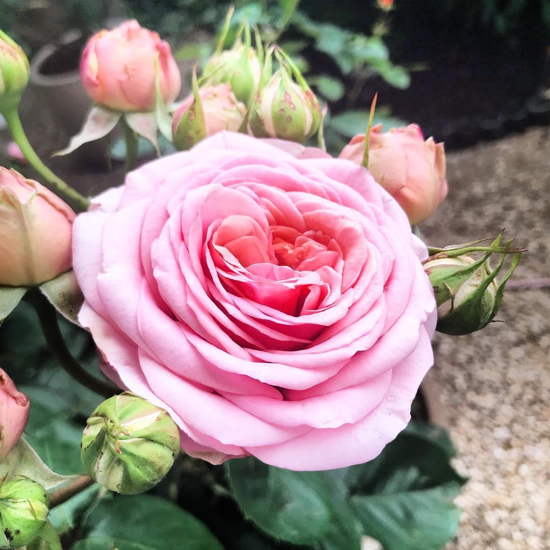 :  une nouvelle rose pour la journée ! 🌳🌞 ️