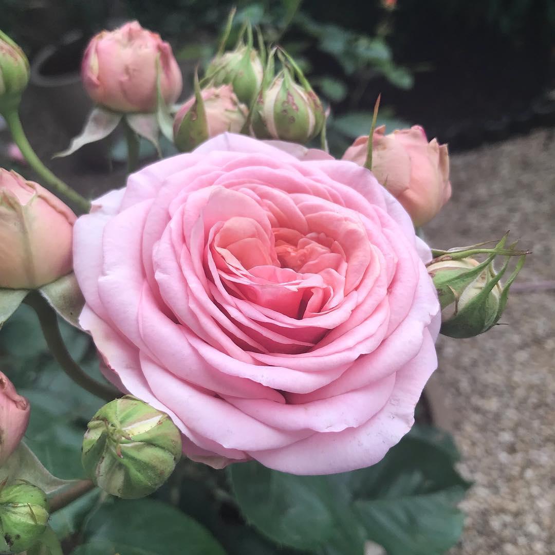 Les roses du petit jardin   🌳🌞 ️