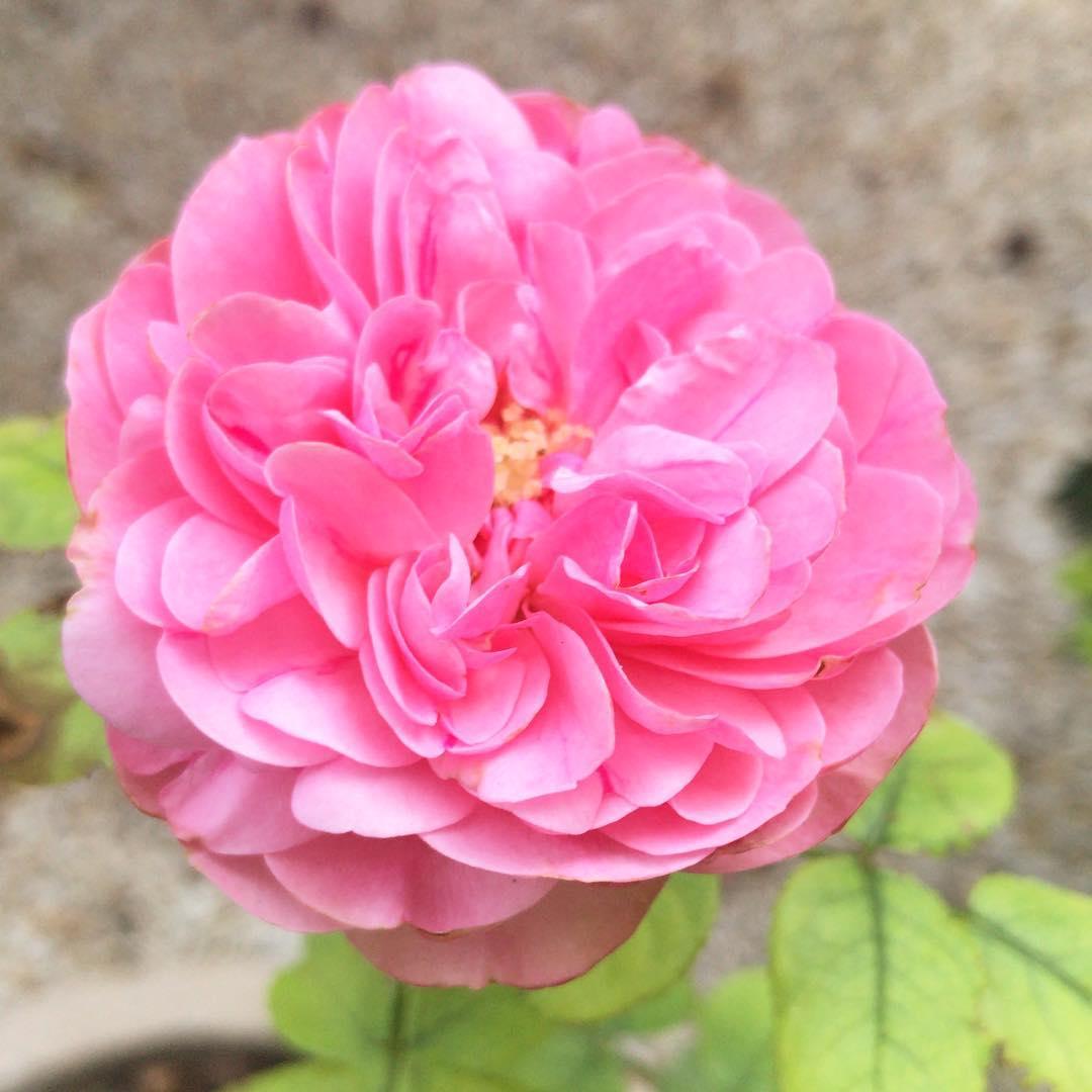 Nouvelle rose du petit jardin  🌳🌞 ️