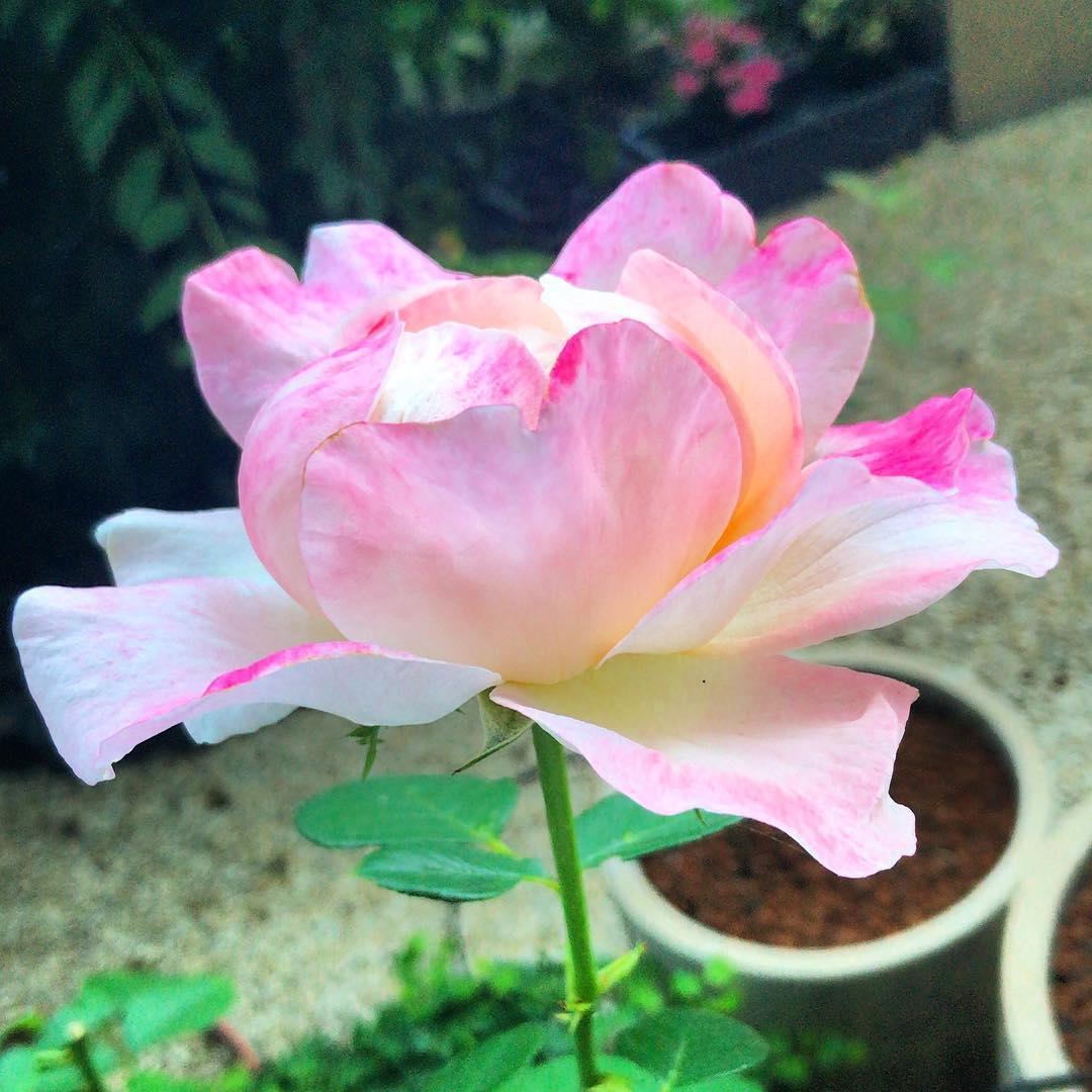 Cet été, les roses étaient là ! 🌳🌞 ️