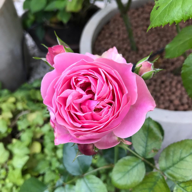 Les roses poussent ! 🌳🌞 ️ @mairie18