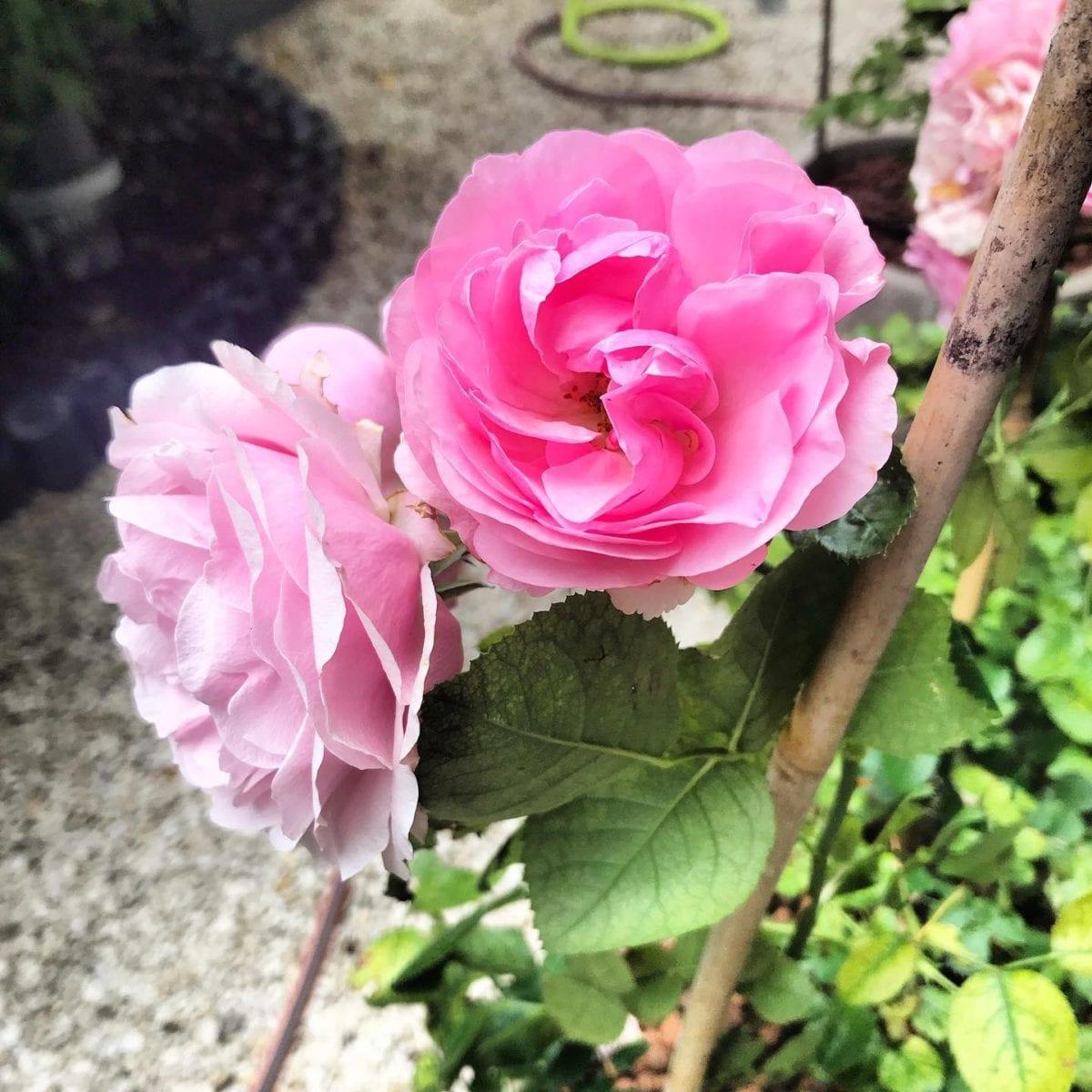 Les roses du petit jardin  🌳🌞 ️ @mairie18